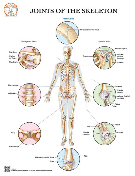 Anatomy of the Joints of the Skeleton Laminated Wall Chart with Digital Download Code