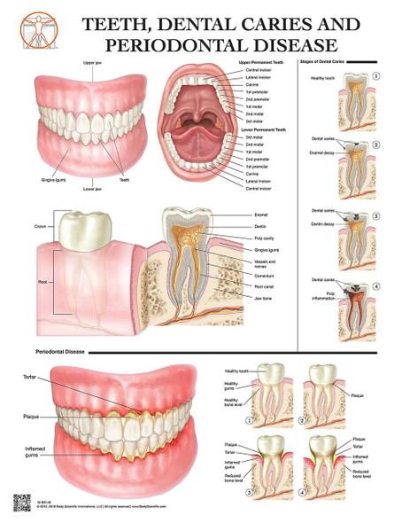 Anatomy of the Teeth Laminated Wall Chart with Digital Download Code