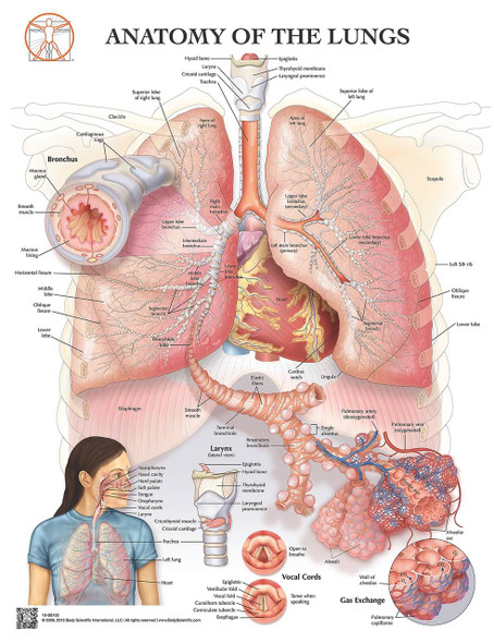 Anatomy of the Lungs Laminated Wall Chart with Digital Download Code
