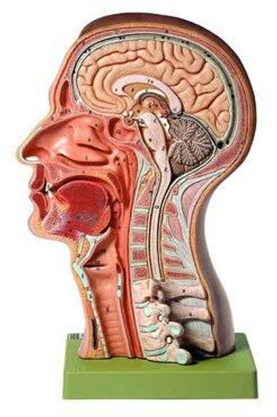 SOMSO Model of the Head Anatomy Model
