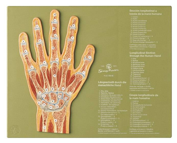 SOMSO Section through the Hand Anatomy Model