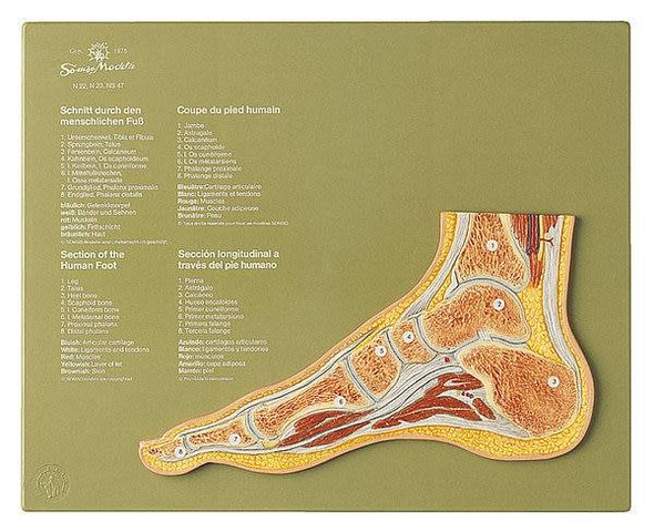 SOMSO Section through a Normal Foot Anatomy Model