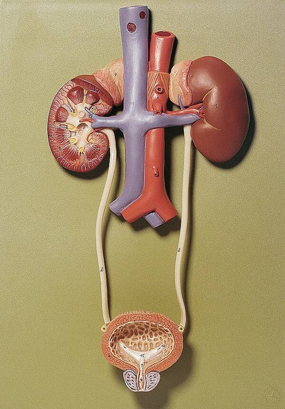 SOMSO Urinary Tract Anatomy Model