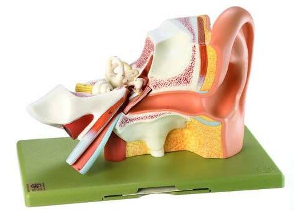 SOMSO 3-Part Enlarged Ear Anatomy Model