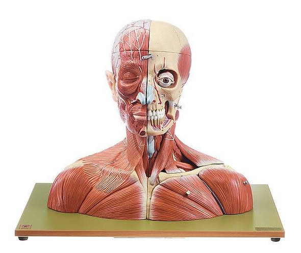 SOMSO 19-Part Life-Size Head and Neck Anatomy Model