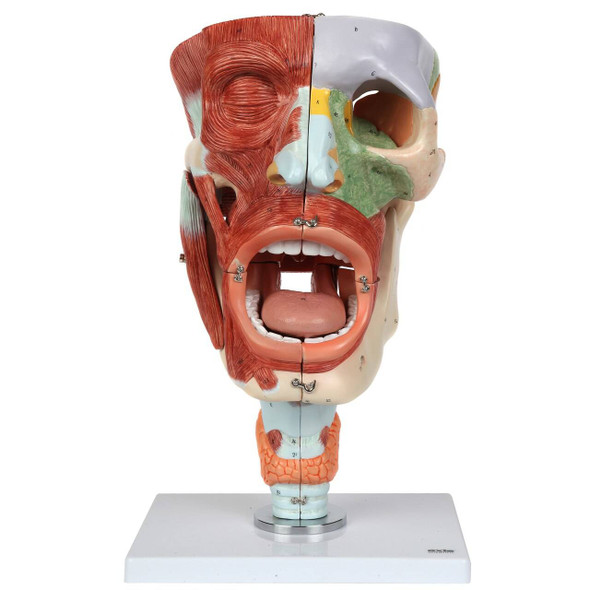 Axis Scientific Cavities of the Nose, Mouth and Throat with Larynx
