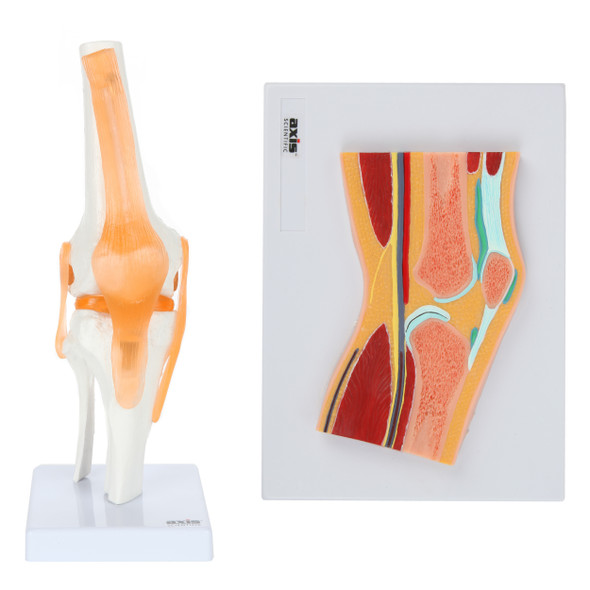 Axis Scientific Functional Knee Joint and Cross Section Anatomy Model Set