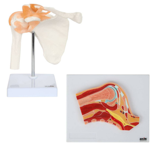 Axis Scientific Functional Shoulder Joint and Cross Section Anatomy Model Set