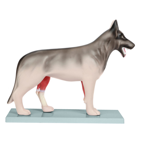 Anatomy Lab Domestic Canine Canis lupus familiaris Anatomy Model 1