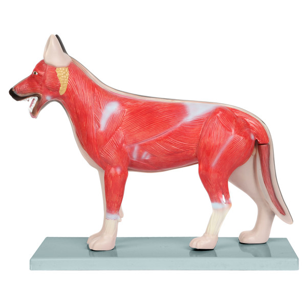Anatomy Lab Domestic Canine Canis lupus familiaris Anatomy Model