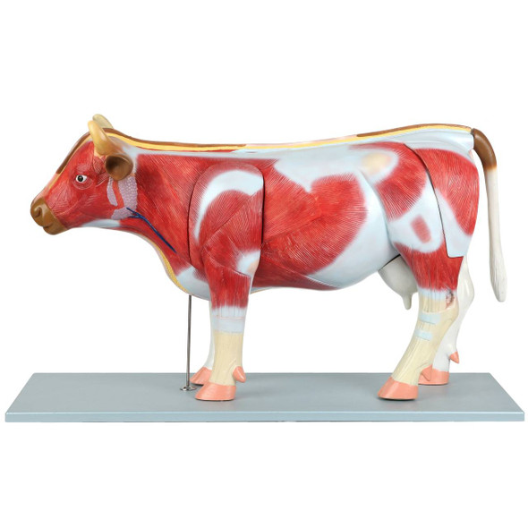 Anatomy Lab Domestic Bovine Bos taurus Anatomy Model