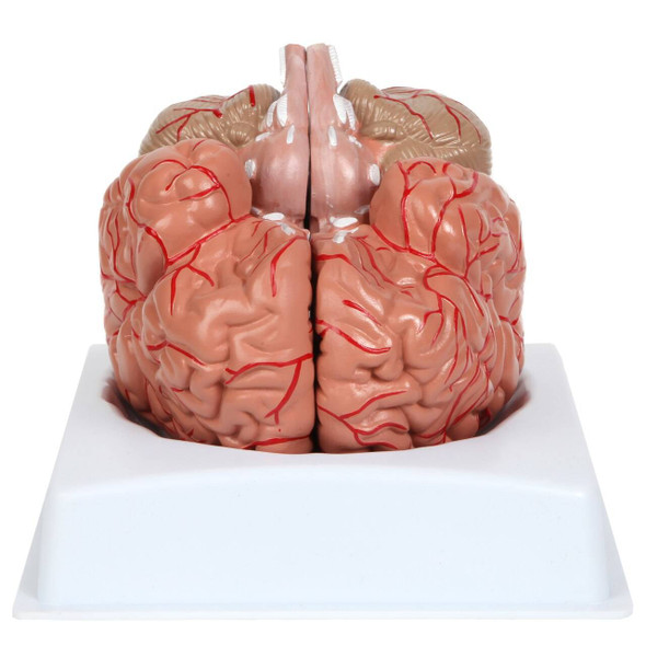 Anatomy Lab Basic 2 Part Brain Model with Arteries and Blood Vessels