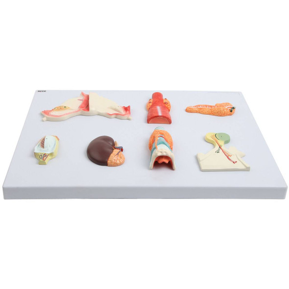 Axis Scientific Complete Endocrine Gland Set Anatomy Model 1