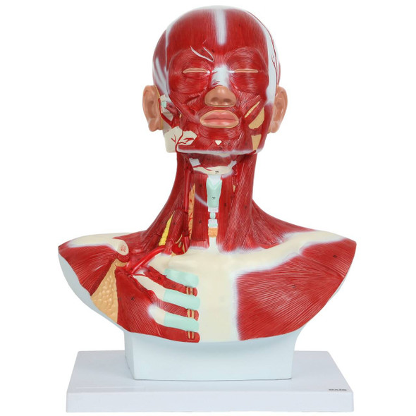 Axis Scientific Complete Human Head and Neck Anatomy Model with Superficial Muscles and Vasculature