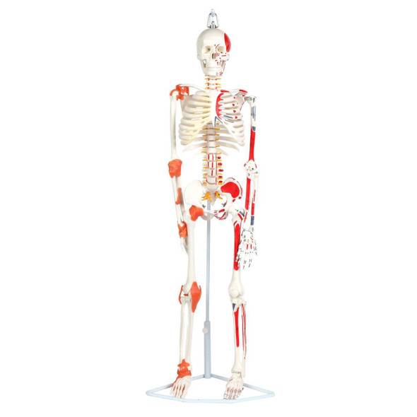 Anatomy Lab Miniature Human Skeleton Anatomy Model with Ligaments, Insertion Points and Flexible Vertebral Column
