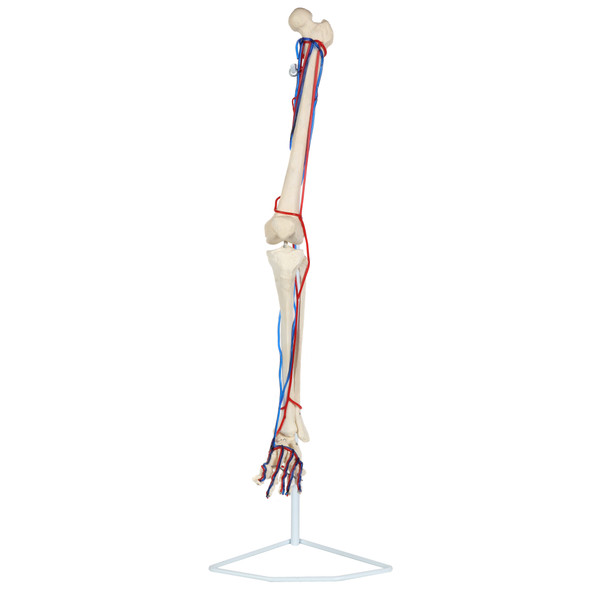 Axis Scientific Leg Skeleton with Vasculature Anatomy Model