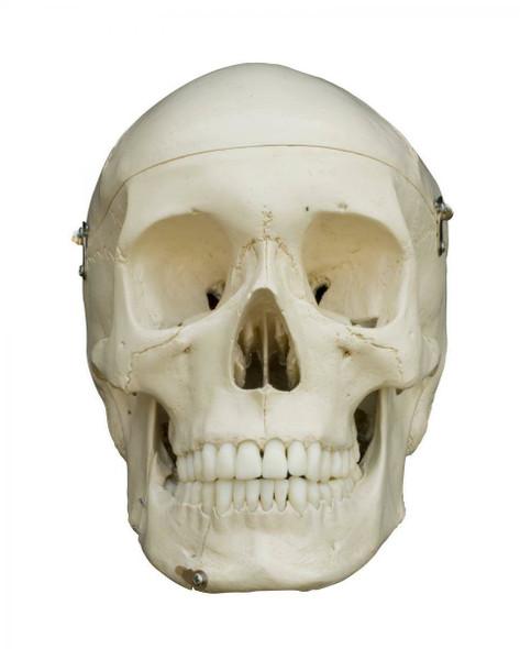 Rudiger Anatomie Premium Complete Disarticulated Female Skeleton 1