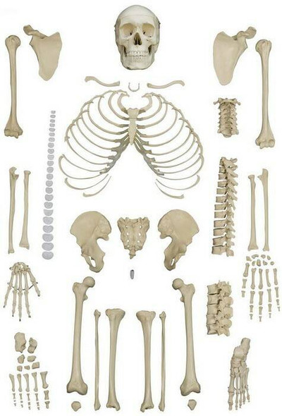 Rudiger Anatomie Premium Complete Disarticulated Female Skeleton