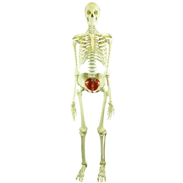 Rudiger Anatomie Premium Female Skeleton with Pelvic Floor Muscles