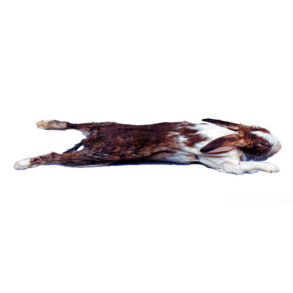 Anatomy Lab Rabbit Specimen, 14 or More Inches, Double Injection, Vacuum Packed, Preserved Rabbit Specimen for Dissection