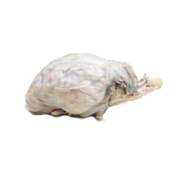 Anatomy Lab Preserved Sheep Brain Specimen, Vacuum Packed for Dissection
