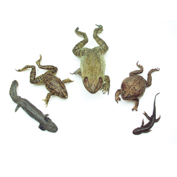 Anatomy Lab Amphibian Survey Set of Preserved Sepcimens representing four classes of Amphibians, three in the Order Anura: Rana catesbeiana (Bullfrog), Rana forerri (Grassfrog), Bufo marinus (Marine Toad), and two in the Order Caudata: Urodela - Ambystoma maculatum (Spotted Salamander) and Ambystoma tigrinum (Aquatic Salamander).