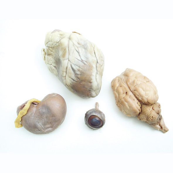 Anatomy Lab Preserved Mammal Organs Specimen Set for Dissection, Package of Sheep Brain, Eye, Heart, and Kidney