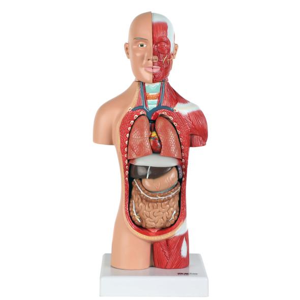 Axis Scientific 14-Part Micro Torso Anatomy Model