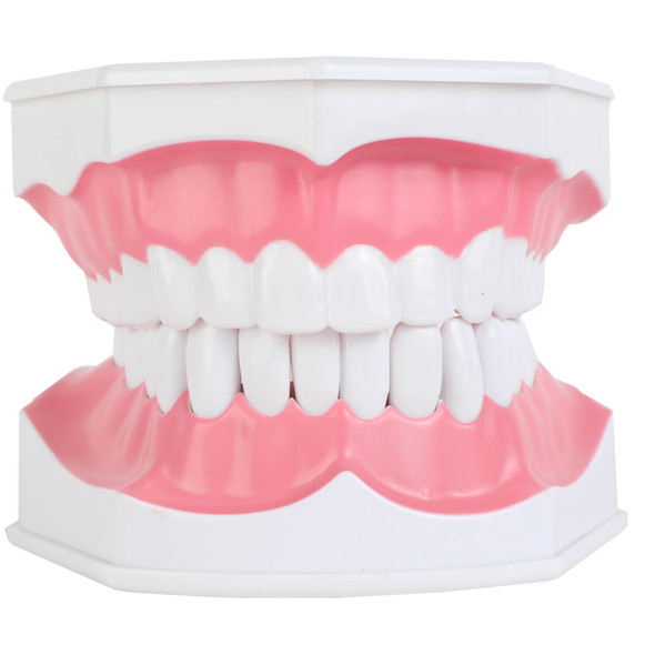 Axis Scientific Enlarged Teeth Care Model Front View