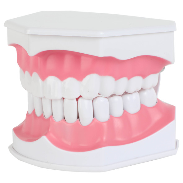 Axis Scientific Enlarged Teeth Care Model Front Left View 1