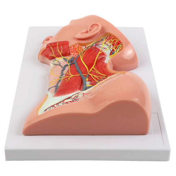 Axis Scientific Human Neck with Muscles, Nerves, and Blood Vessels Anatomy Model Flat, Front View 1