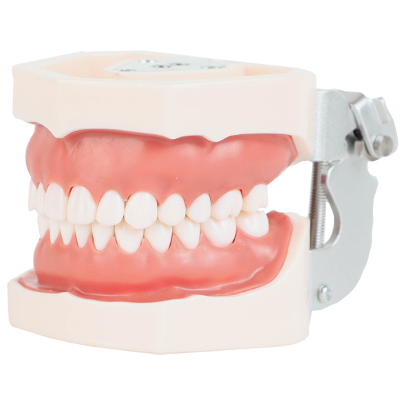 Axis Scientific Dental Typodont Model Front Left Side View, Mouth Closed 1
