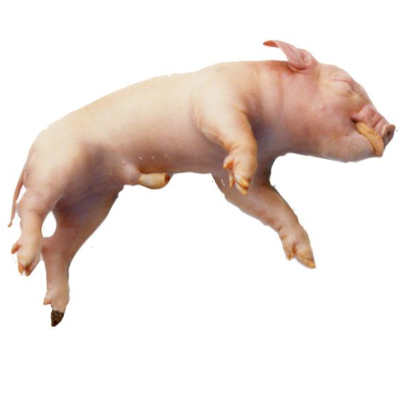 Fetal Pig Specimen for Dissection 1