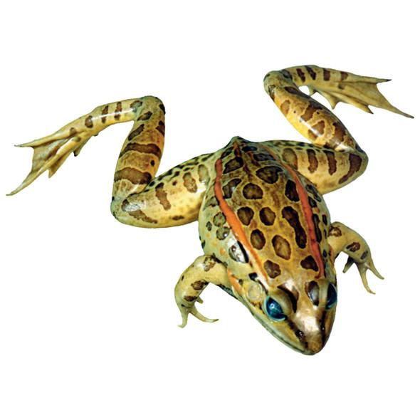 Grass frog Specimen for Dissection 1