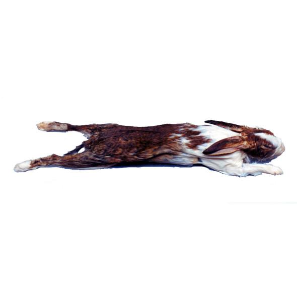 Rabbit Specimen for Dissection 1