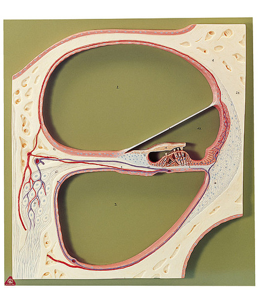 SOMSO Section through the Central Spiral of the Cochlea
