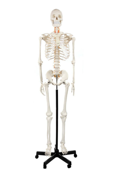 Axis Scientific Classic Human Skeleton with Study and Numbering Guide Model