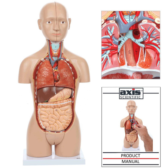 Axis Scientific 16-Part Mini Torso