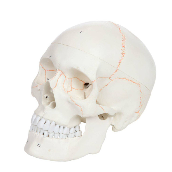 Axis Scientific 3-Part Life-Size Human Skull Numbered Anatomy Model Overview