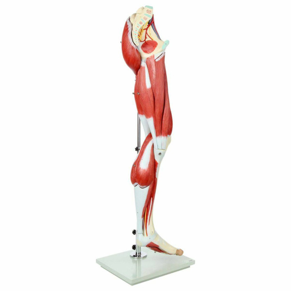 Axis Scientific Premium Life-Size Human Leg Musculature front view of leg model