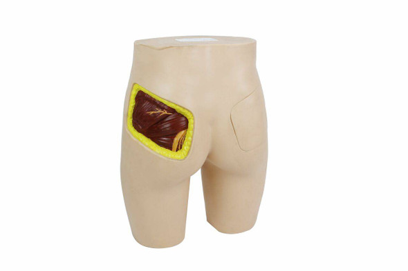 Anatomy Lab Buttock Injection Model with Anatomical Structure