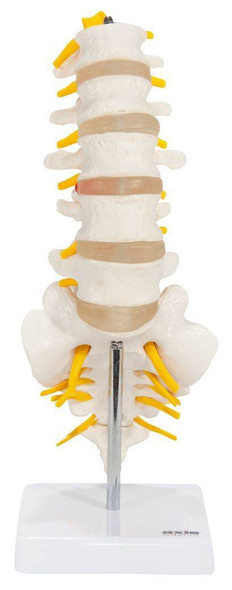 Axis Scientific Lumbar Vertebral Column with Sacrum and Spinal Nerves Anatomy Model Overview