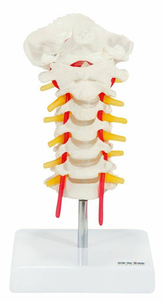 Axis Scientific Cervical Vertebral Column with Spinal Nerves and Arteries