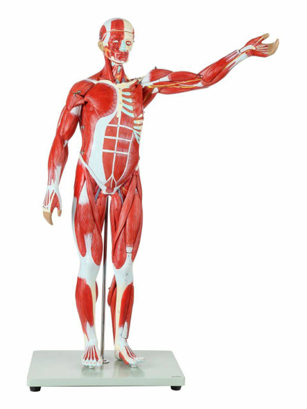 Axis Scientific Half Life-Size 27-Part Human Muscular Figure with Organs Anatomy Model Overview
