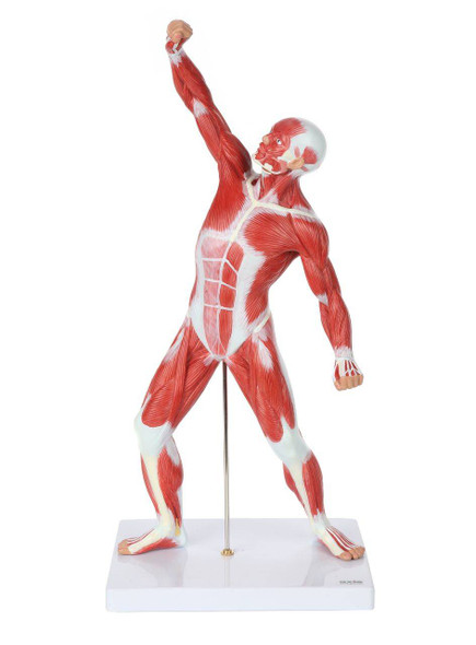 Axis Scientific Miniature Human Muscular Figure Anatomy Model Front Side View