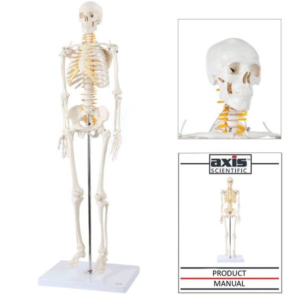 Axis Scientific Miniature Human Skeleton with Closeup of Head and Manual