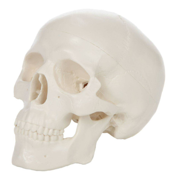 Axis Scientific 3-Part Miniature Human Skull Anatomy Model Overview
