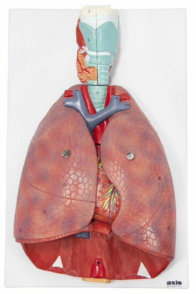 Axis Scientific 7-Part Human Lung and Respiratory System 3/4 Life-Size