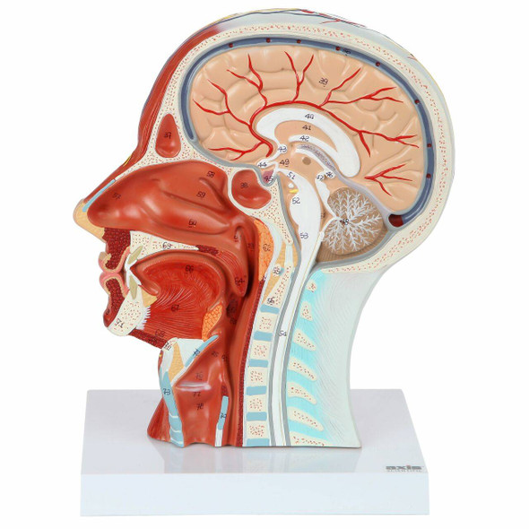 Axis Scientific Half Head with Muscles, Nerves and Vasculature