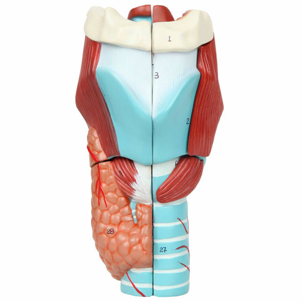 Axis Scientific 5-Part Larynx Model